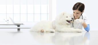 兽医考试狗,微笑的兽医与粗磨干燥 免版税库存照片