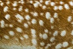白被盯梢的鹿纹理 免版税库存图片