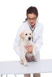 兽医做的检查在与听诊器的一条狗 免版税库存图片