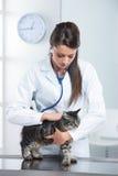兽医关心一只逗人喜爱的猫 库存照片