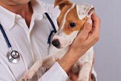 兽医关心 遭受佳肴过敏的狗 狗眼感染 免版税库存图片