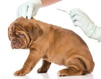 兽医关心 免版税图库摄影