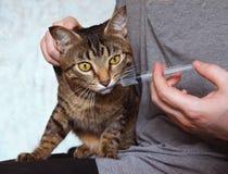 兽医哺养猫通过注射器 免版税图库摄影