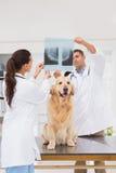 兽医工友审查的狗X-射线 免版税库存照片