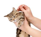 兽医清洗耳朵对一只小小猫 查出 库存图片