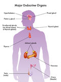 内分泌系统 库存图片