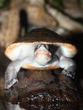 内地被绘的乌龟 免版税库存图片