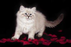 内娃化妆舞会蓬松美丽的白色小猫与蓝眼睛,三个月的,摆在黑背景与上升了 图库摄影