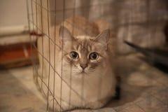 内娃化妆舞会seames tabbi色的猫behaind净在笼子 免版税库存照片