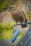内斯特凯阿岛鹦鹉在亚瑟斯通行证国立公园,NZ 库存照片