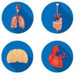 内部人体器官平的设计圆的象  库存照片