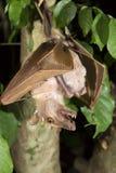 冈比亚epauletted垂悬在与婴孩的一棵树的果实蝙蝠(Epomophorus gambianus)腹部的 库存图片