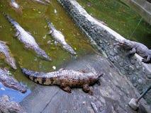再使鳄鱼农场伟大, Zoobic徒步旅行队,苏比克湾,菲律宾 图库摄影
