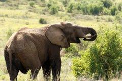 再吃的大象 图库摄影