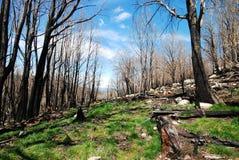 再生在灌木火以后的森林 免版税图库摄影