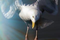 再生 一只白色鸟的精神野生生物图象在l 库存图片