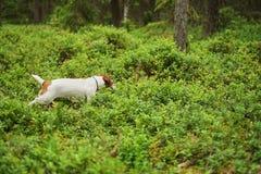 冒险杰克罗素小狗奔跑通过森林 库存图片