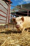 写作的小猪 免版税库存图片