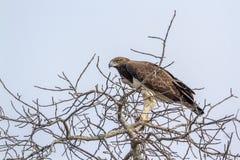 军事老鹰在克鲁格国家公园,南非 库存照片