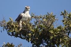 军事老鹰(Polemaetus bellicosus) (青少年) 库存图片