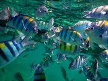 军士长热带鱼学校  库存照片