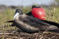 军舰鸟在加拉帕戈斯群岛 库存照片