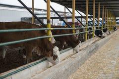 农业产业,农厂和畜牧业概念-吃干草的母牛牧群在牛棚 免版税库存图片