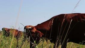 农业产业 吃草的奶牛 吃草的奶牛 吃草在牧场地的农厂牛 动物农场横向许多sheeeps夏天 股票录像