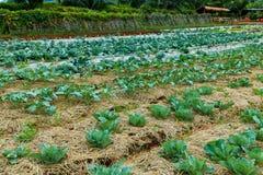 农业农场 生长在agricultu的新鲜的嫩卷心菜植物 库存图片