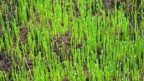农业和植物的概念 年轻草新芽从地面增长 影视素材