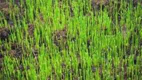 农业和植物的概念 年轻草新芽从地面增长 股票录像