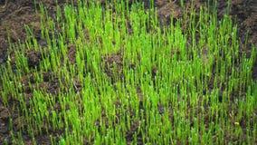 农业和植物的概念 年轻草新芽从地面增长 股票视频