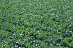 农业圆白菜领域 库存图片
