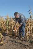 农业场面、农夫或者农艺师检查损坏的玉米fi 库存照片