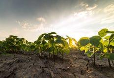 农业大豆种植园在晴天-绿色生长soybea 免版税图库摄影