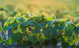 农业大豆种植园在晴天-绿色生长soybea 免版税库存图片