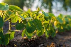 农业大豆种植园在晴天-绿色生长soybea 图库摄影