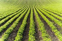 农业大豆种植园在晴天-绿色生长soybea 库存图片