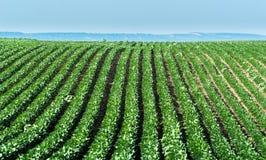 农业大豆种植园在晴天-绿色生长soybea 库存照片