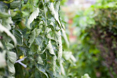 农业失败,在蕃茄树的卷曲叶子由多血症氮气 免版税库存照片