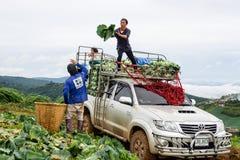 农业学家收获圆白菜 免版税库存图片