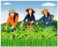 农业学家收获茶叶 库存例证