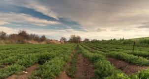 农业时间间隔丰富的收获,灌溉系统,犁培养的领域风景 股票视频