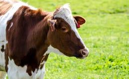 农业棕色母牛纵向显示 免版税图库摄影