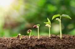 农业植物种子生长步概念在庭院和su里 免版税库存照片