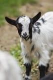 农业概念农厂山羊 免版税库存照片