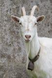 农业概念农厂山羊 库存图片