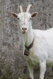 农业概念农厂山羊 免版税图库摄影