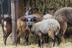 农业概念农厂山羊 库存照片