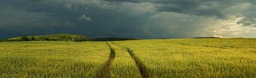 农业横向夏天 燕麦领域的全景在风暴前的剧烈的天空下 库存照片